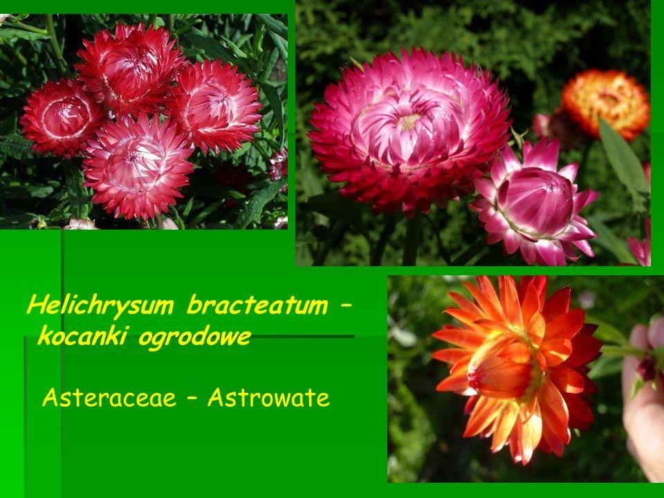 Helichrysum bracteatum –
