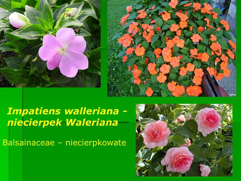 Impatiens walleriana - niecierpek Waleriana