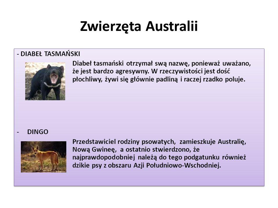 Zwierzęta Australii - DIABEŁ TASMAŃSKI