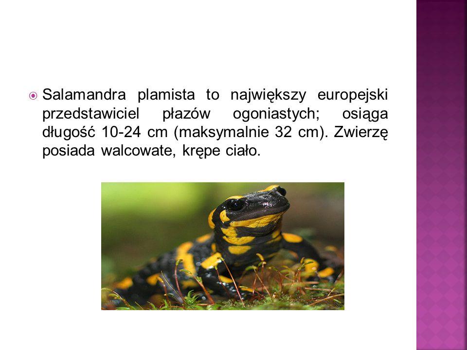 Salamandra plamista to największy europejski przedstawiciel płazów ogoniastych; osiąga długość 10-24 cm (maksymalnie 32 cm).