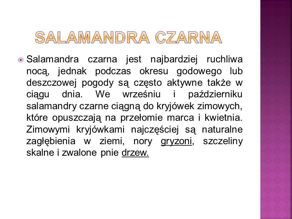 Salamandra czarna
