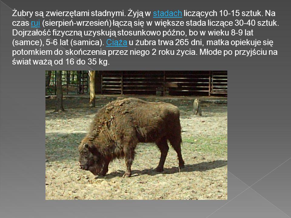 Żubry są zwierzętami stadnymi. Żyją w stadach liczących 10-15 sztuk