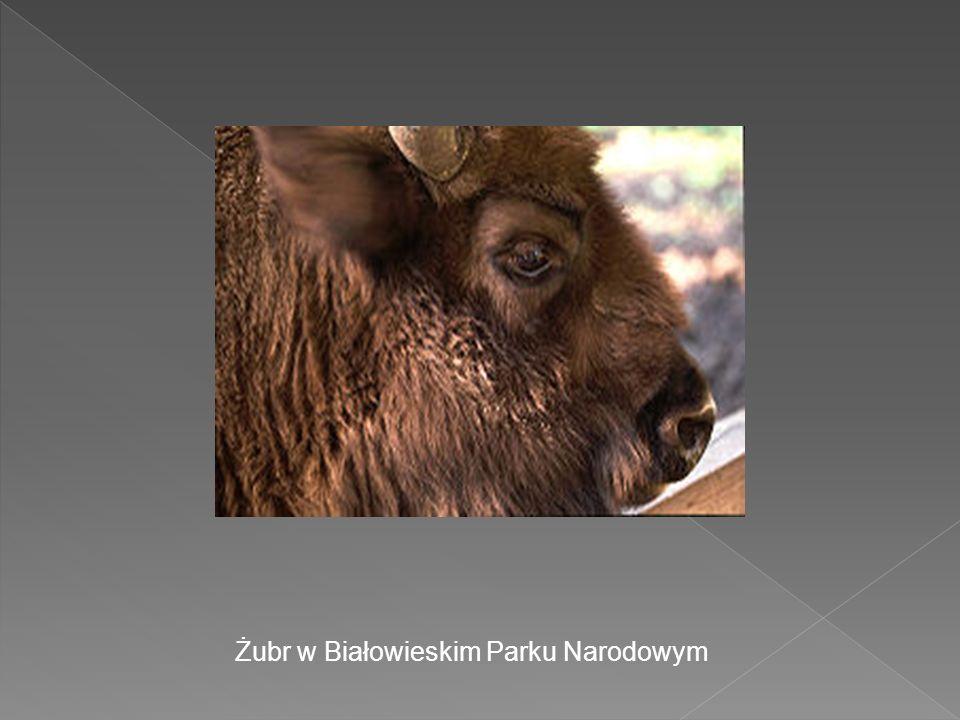 Żubr w Białowieskim Parku Narodowym