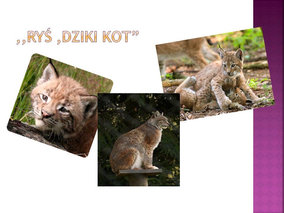 ,,Ryś ,dziki kot