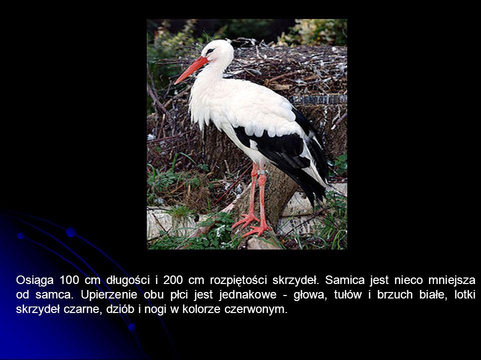 Osiąga 100 cm długości i 200 cm rozpiętości skrzydeł