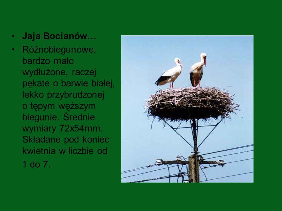 Jaja Bocianów…