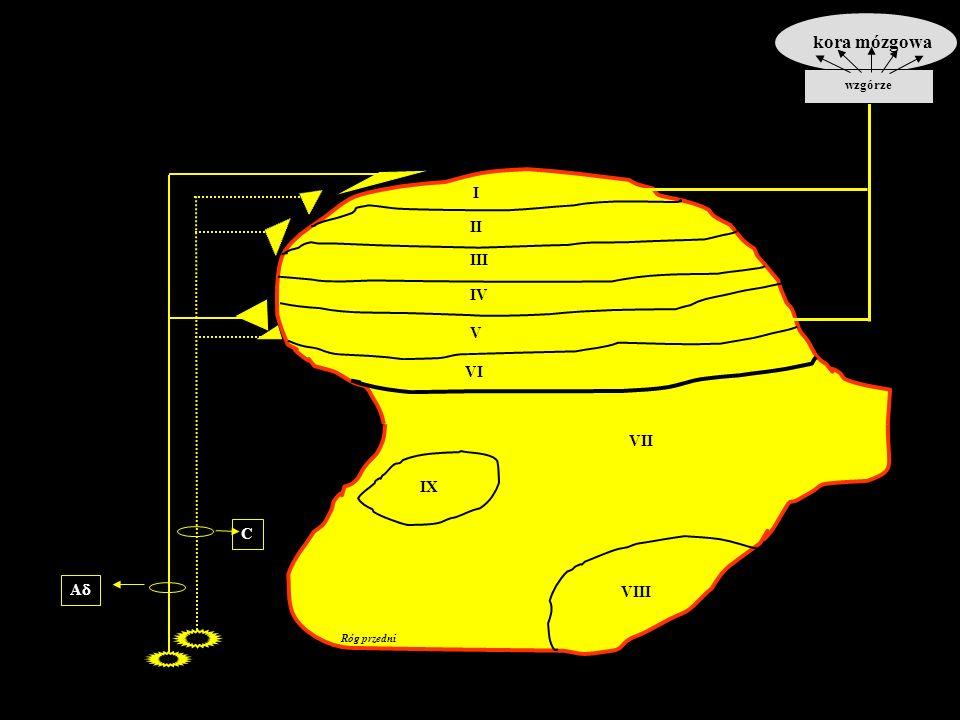 Róg przedni I II III IV V VI VII VIII IX Ad C kora mózgowa wzgórze