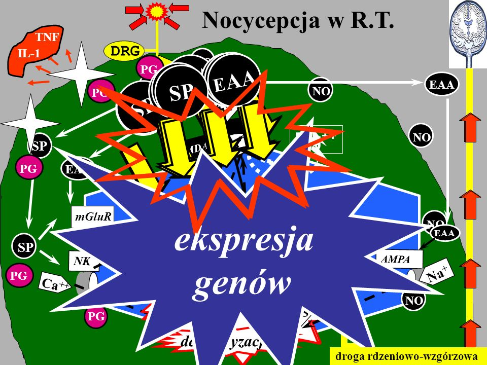 genów ekspresja Nocycepcja w R.T. SP EAA SP EAA SP SP EAA SP EAA SP