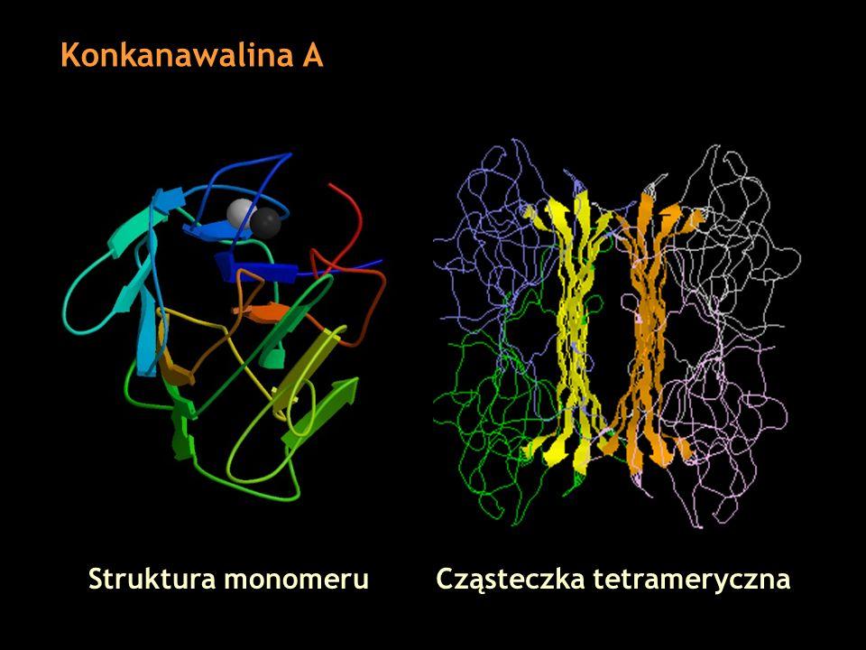 Konkanawalina A Struktura monomeru Cząsteczka tetrameryczna