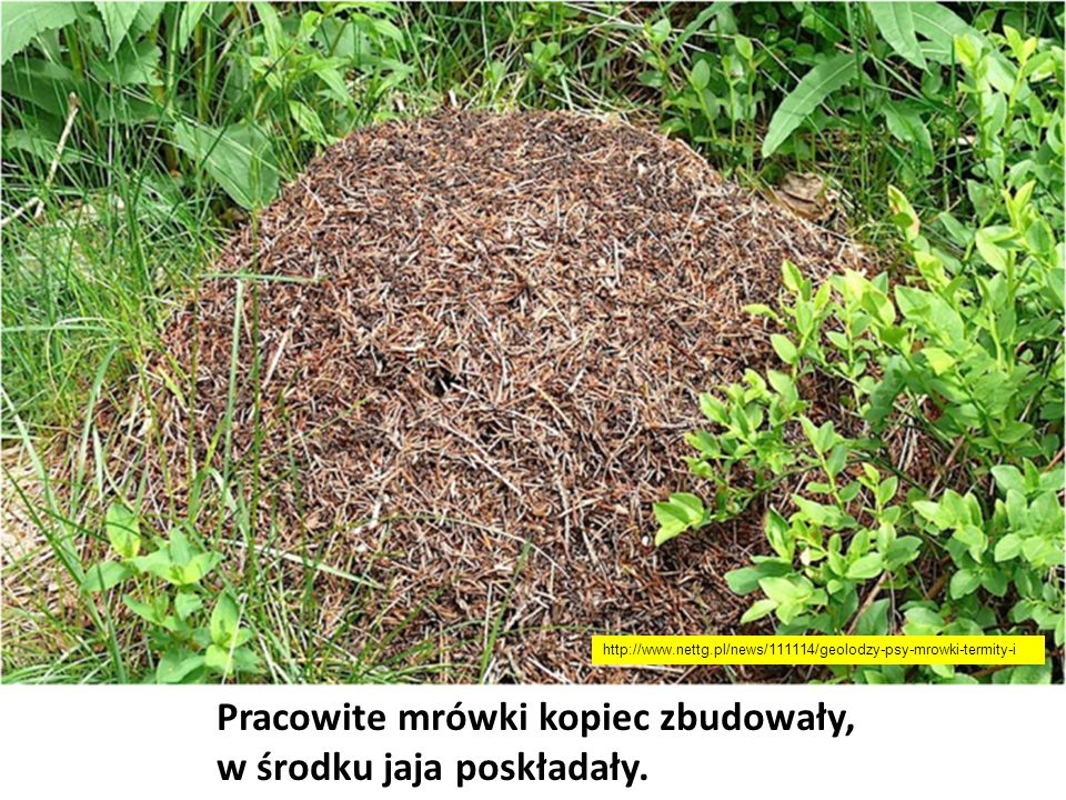 Pracowite mrówki kopiec zbudowały, w środku jaja poskładały.