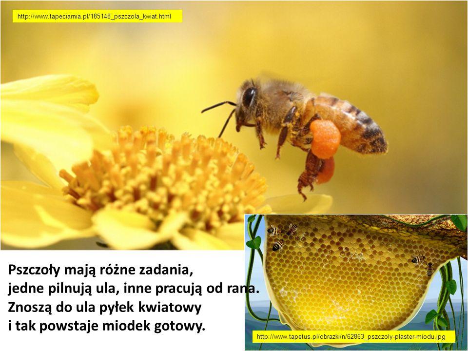 Pszczoły mają różne zadania, jedne pilnują ula, inne pracują od rana.
