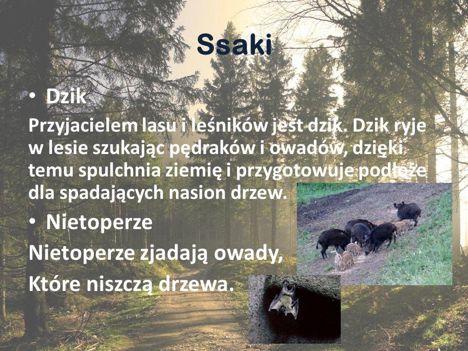 Ssaki Dzik Nietoperze Nietoperze zjadają owady, Które niszczą drzewa.