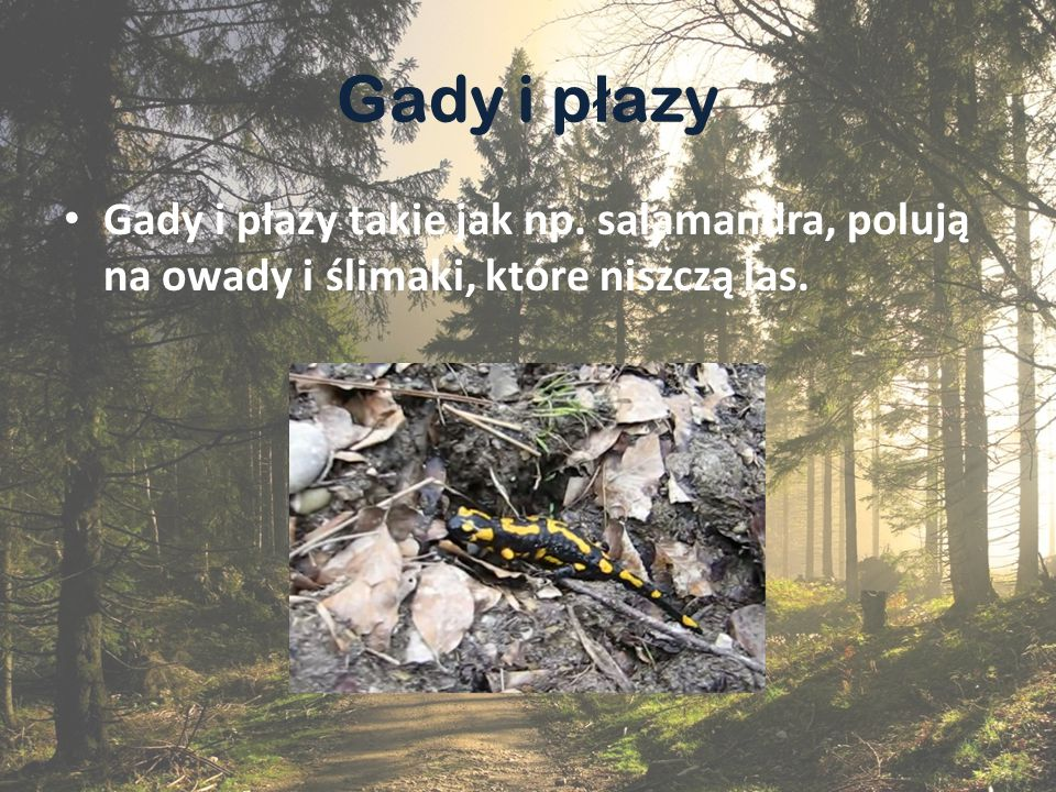 Gady i płazy Gady i płazy takie jak np. salamandra, polują na owady i ślimaki, które niszczą las.