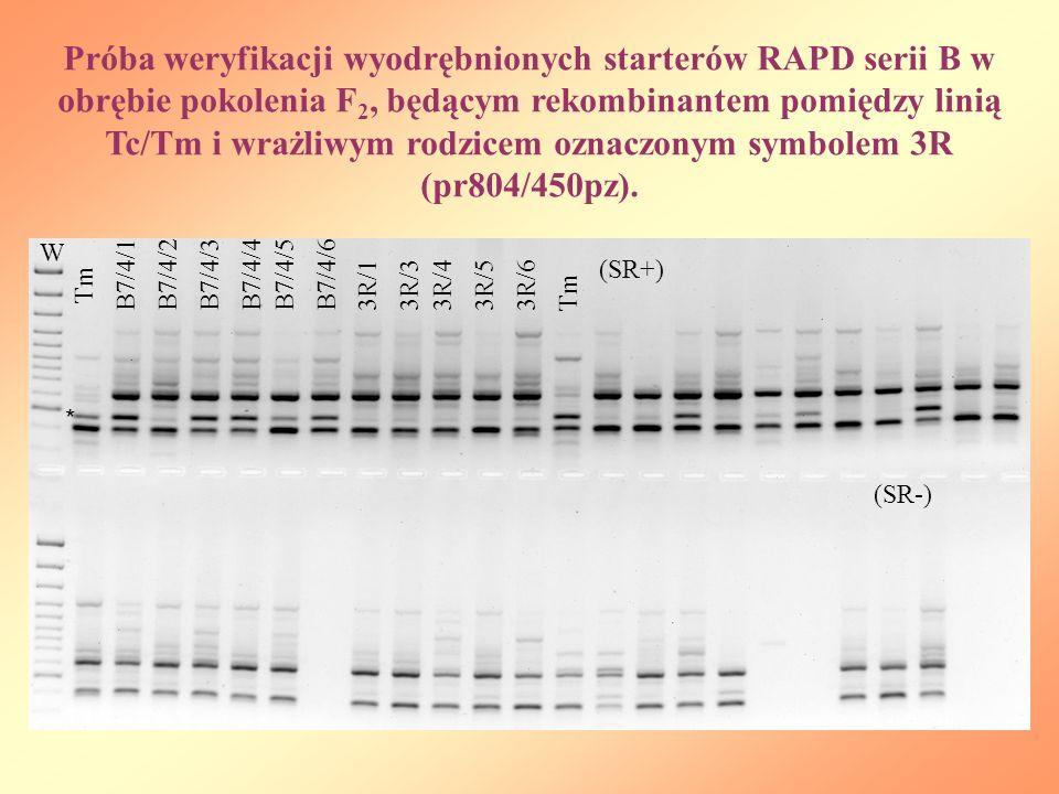 Próba weryfikacji wyodrębnionych starterów RAPD serii B w obrębie pokolenia F2, będącym rekombinantem pomiędzy linią Tc/Tm i wrażliwym rodzicem oznaczonym symbolem 3R (pr804/450pz).