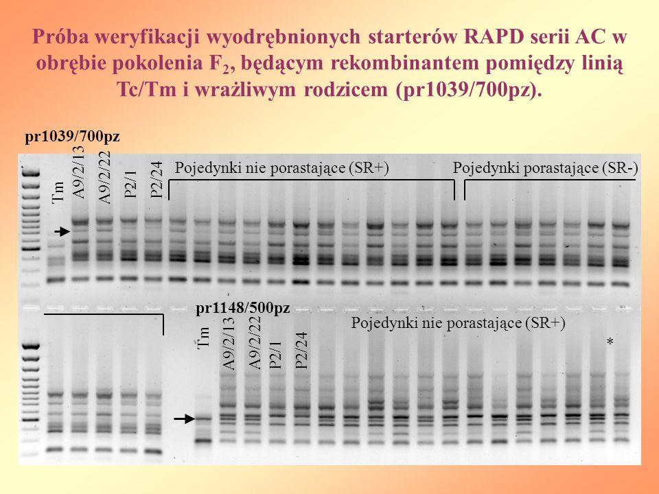 Próba weryfikacji wyodrębnionych starterów RAPD serii AC w obrębie pokolenia F2, będącym rekombinantem pomiędzy linią Tc/Tm i wrażliwym rodzicem (pr1039/700pz).