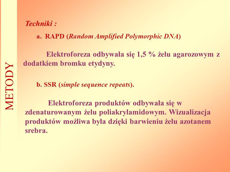 Techniki : RAPD (Random Amplified Polymorphic DNA) Elektroforeza odbywała się 1,5 % żelu agarozowym z dodatkiem bromku etydyny.