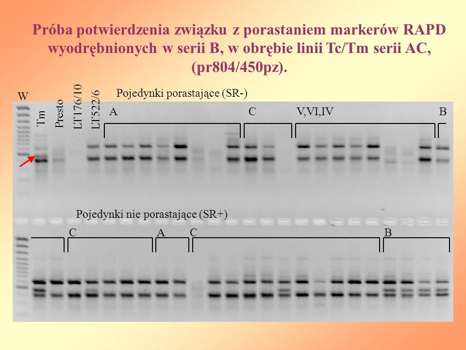 Próba potwierdzenia związku z porastaniem markerów RAPD wyodrębnionych w serii B, w obrębie linii Tc/Tm serii AC, (pr804/450pz).