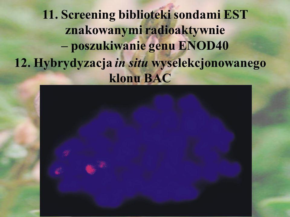 12. Hybrydyzacja in situ wyselekcjonowanego klonu BAC