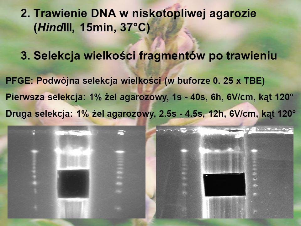 2. Trawienie DNA w niskotopliwej agarozie (HindIII, 15min, 37°C) 3