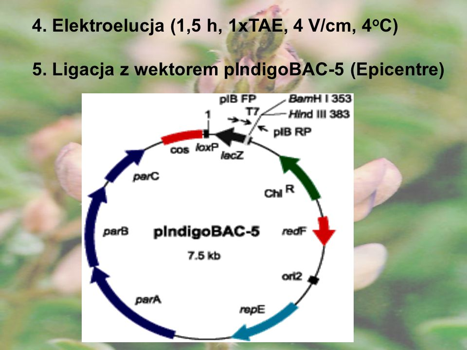 4. Elektroelucja (1,5 h, 1xTAE, 4 V/cm, 4oC)