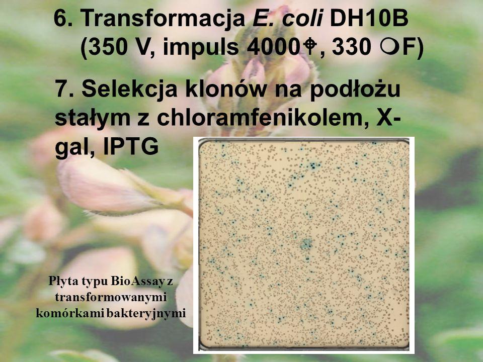 Płyta typu BioAssay z transformowanymi komórkami bakteryjnymi