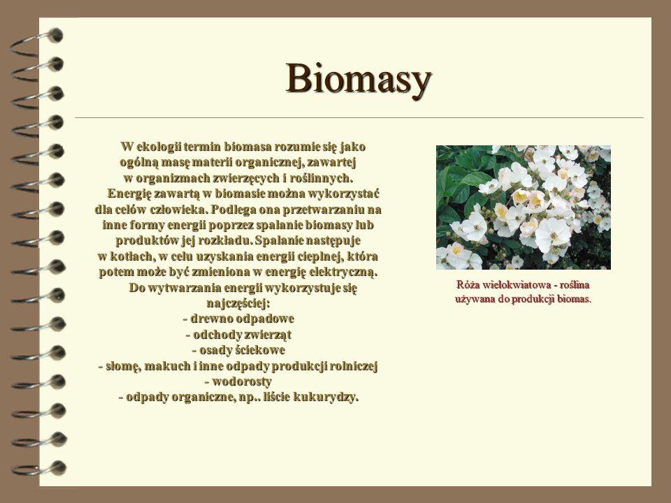 Róża wielokwiatowa - roślina używana do produkcji biomas.
