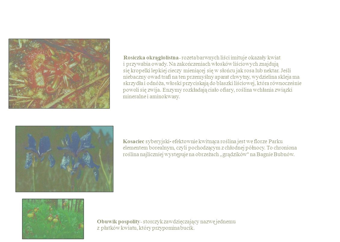 Rosiczka okrąglolistna- rozeta barwnych liści imituje okazały kwiat
