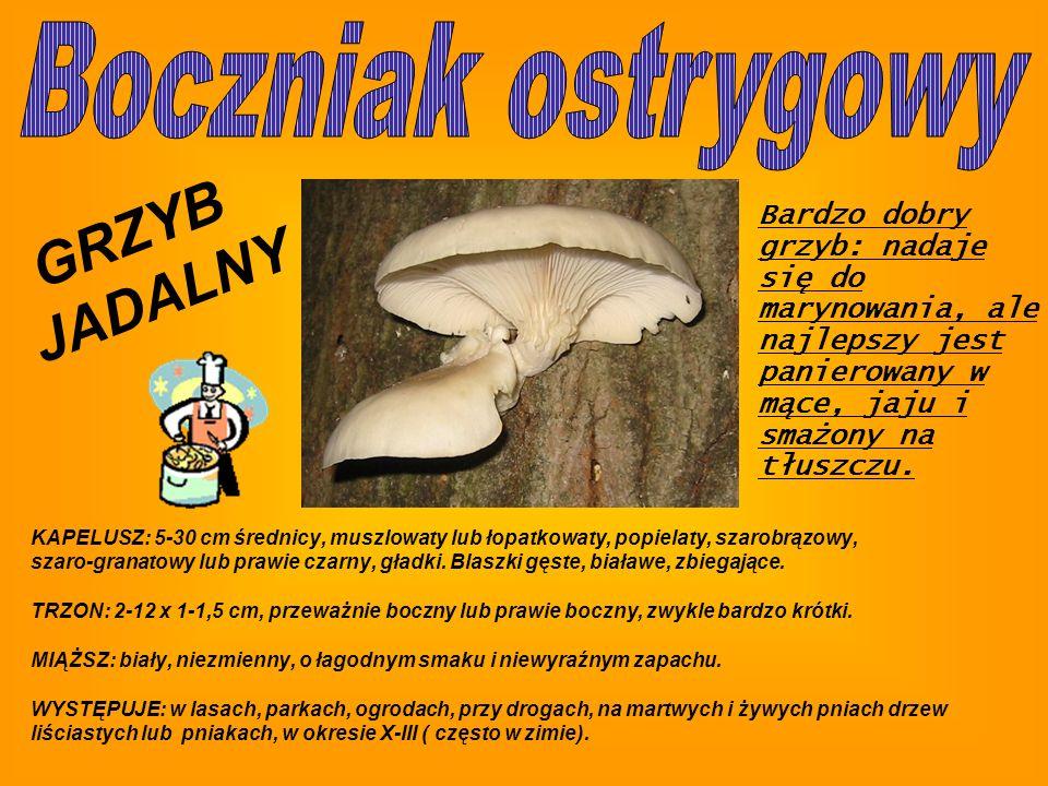 GRZYB JADALNY Boczniak ostrygowy