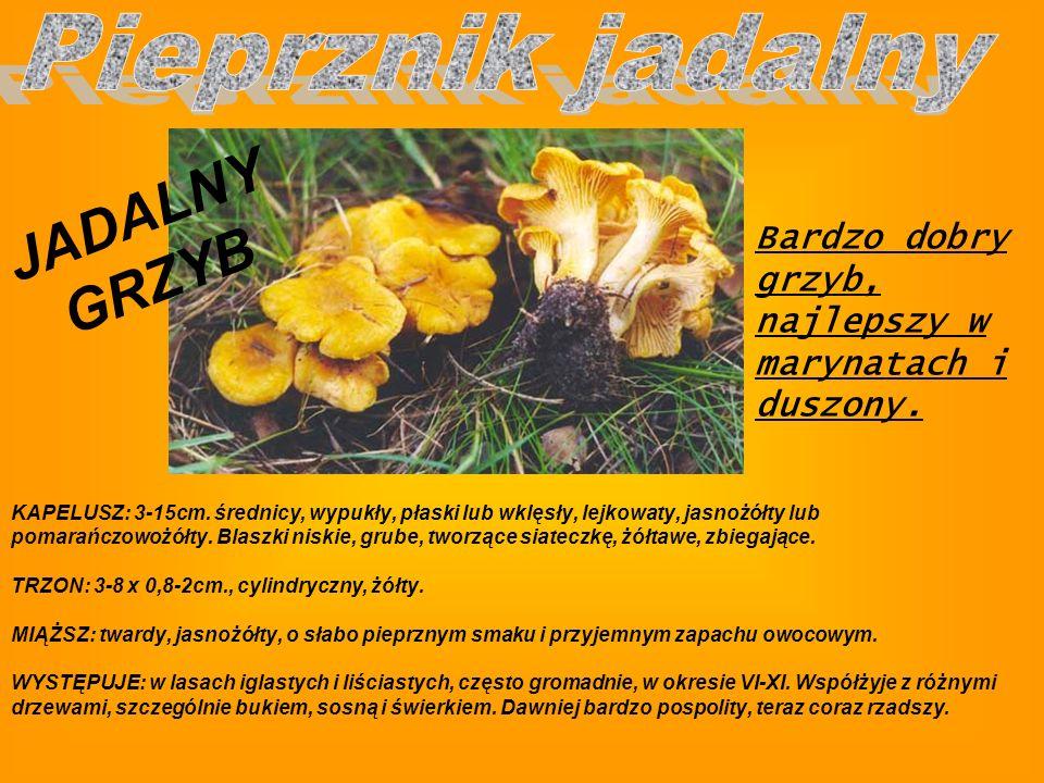 JADALNY GRZYB Pieprznik jadalny