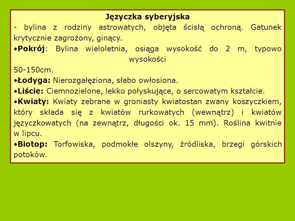 Języczka syberyjska - bylina z rodziny astrowatych, objęta ścisłą ochroną. Gatunek krytycznie zagrożony, ginący.