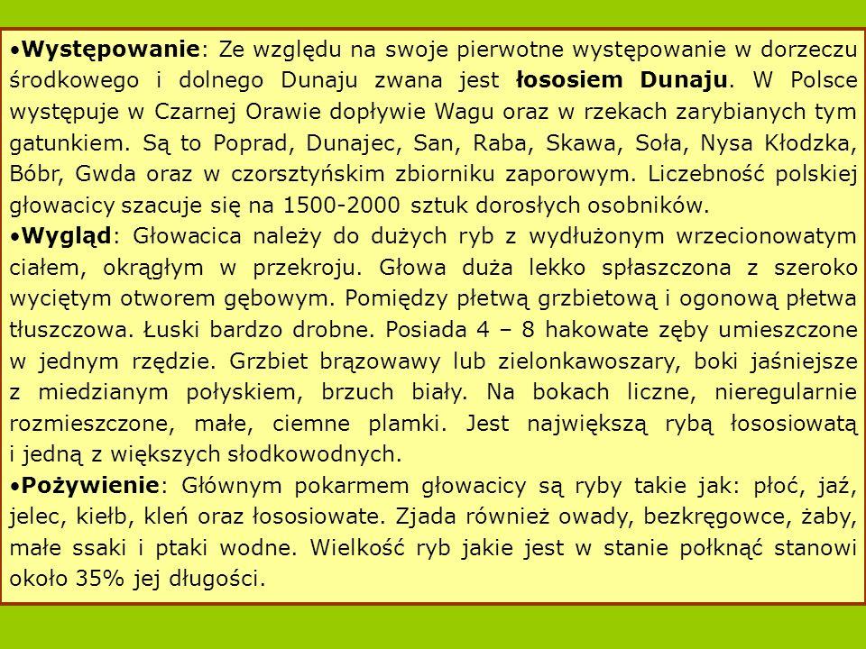 Występowanie: Ze względu na swoje pierwotne występowanie w dorzeczu środkowego i dolnego Dunaju zwana jest łososiem Dunaju. W Polsce występuje w Czarnej Orawie dopływie Wagu oraz w rzekach zarybianych tym gatunkiem. Są to Poprad, Dunajec, San, Raba, Skawa, Soła, Nysa Kłodzka, Bóbr, Gwda oraz w czorsztyńskim zbiorniku zaporowym. Liczebność polskiej głowacicy szacuje się na 1500-2000 sztuk dorosłych osobników.