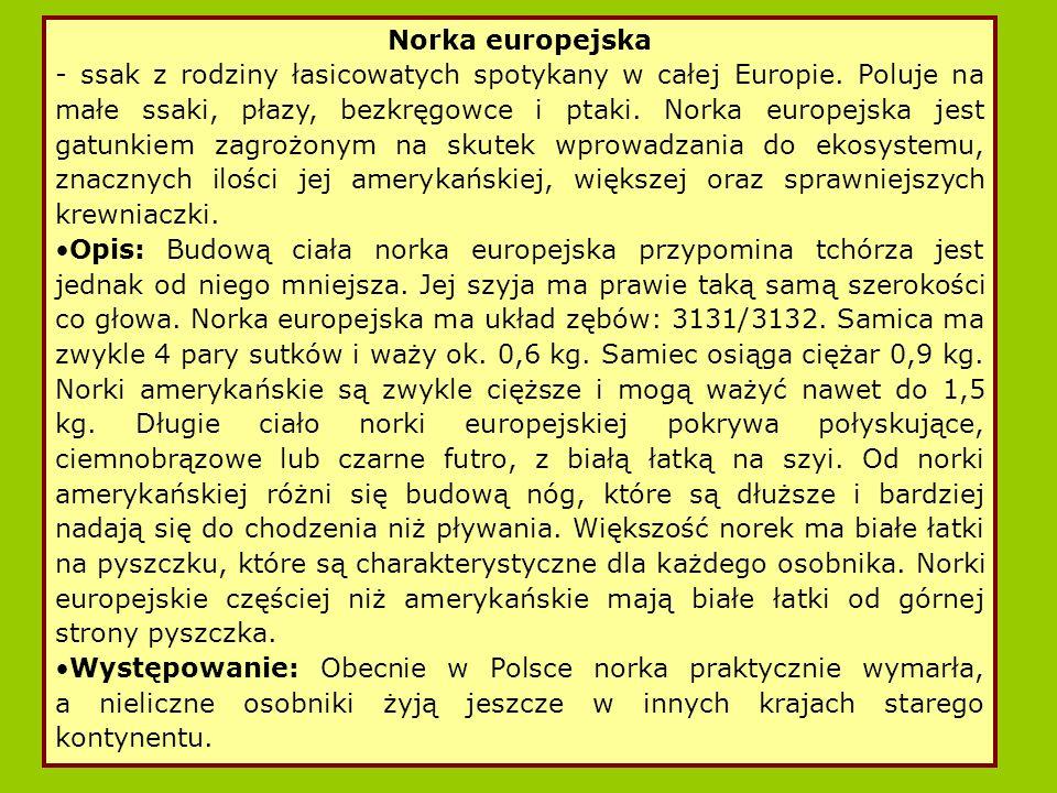 Norka europejska