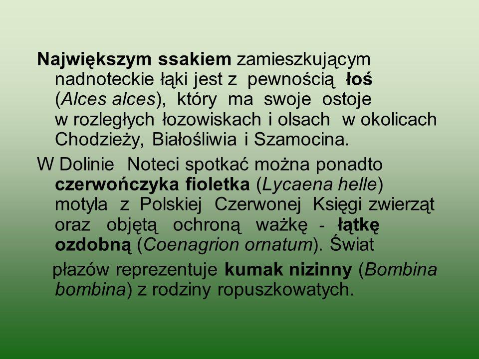 Największym ssakiem zamieszkującym nadnoteckie łąki jest z pewnością łoś (Alces alces), który ma swoje ostoje w rozległych łozowiskach i olsach w okolicach Chodzieży, Białośliwia i Szamocina.