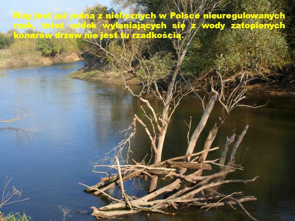 Bug jest już jedną z nielicznych w Polsce nieuregulowanych rzek, toteż widok wyłaniających się z wody zatopionych konarów drzew nie jest tu rzadkością.