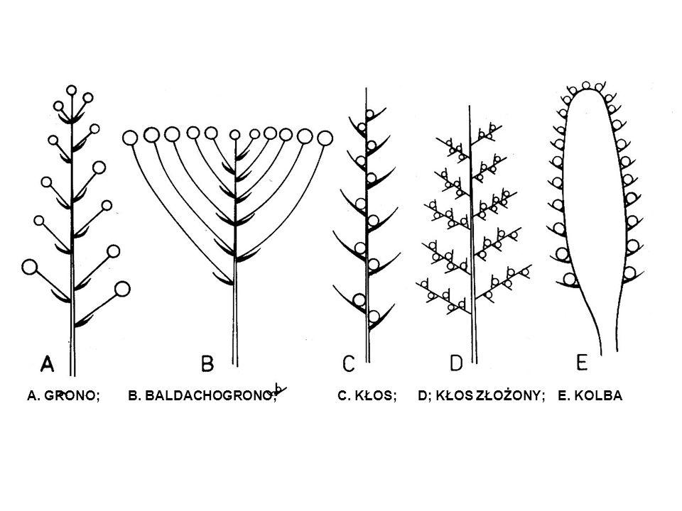 A. GRONO; B. BALDACHOGRONO; C. KŁOS; D; KŁOS ZŁOŻONY; E. KOLBA