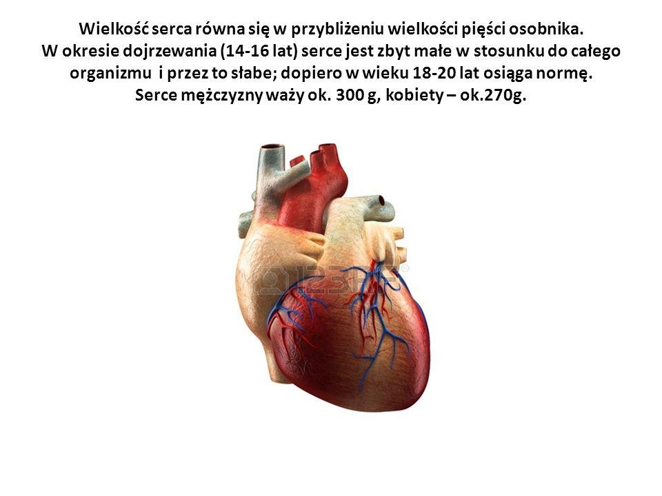 Wielkość serca równa się w przybliżeniu wielkości pięści osobnika