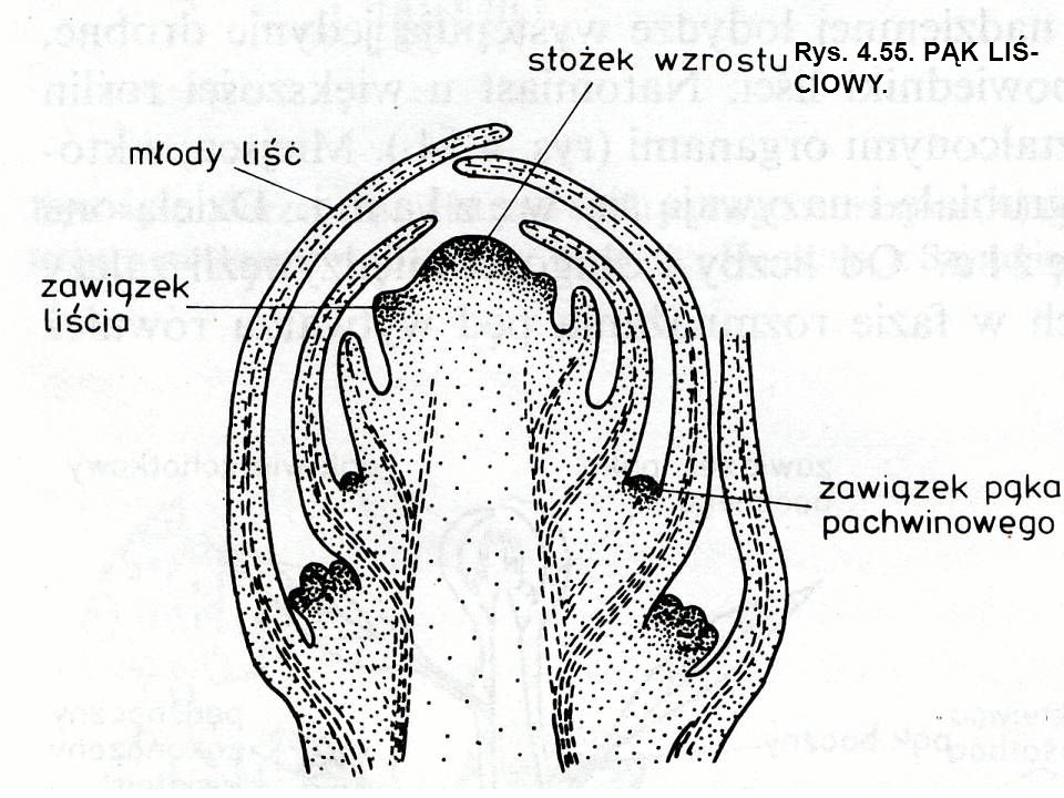 Rys. 4.55. PĄK LIŚ-CIOWY.