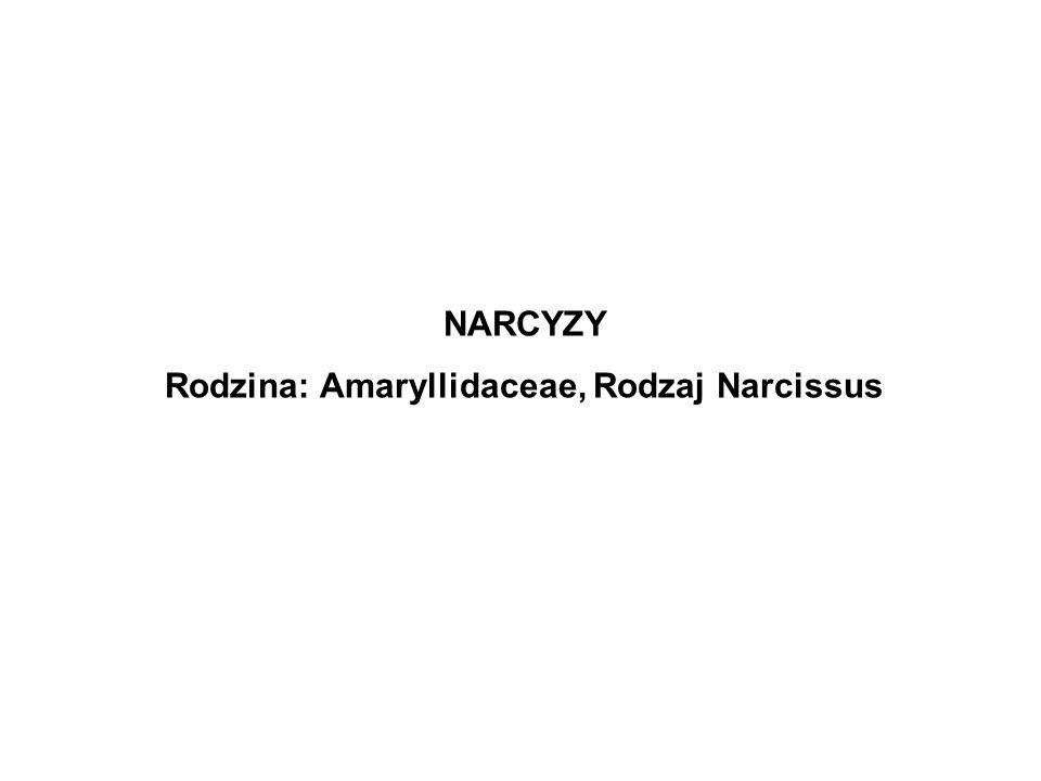 Rodzina: Amaryllidaceae, Rodzaj Narcissus