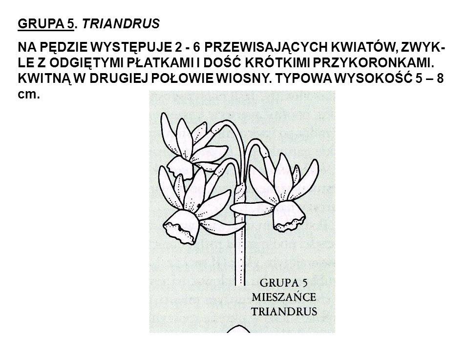 GRUPA 5. TRIANDRUS