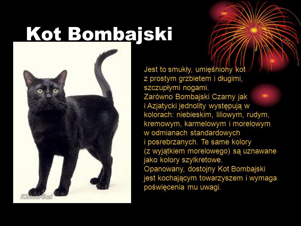 Kot Bombajski Jest to smukły, umięśniony kot z prostym grzbietem i długimi, szczupłymi nogami.