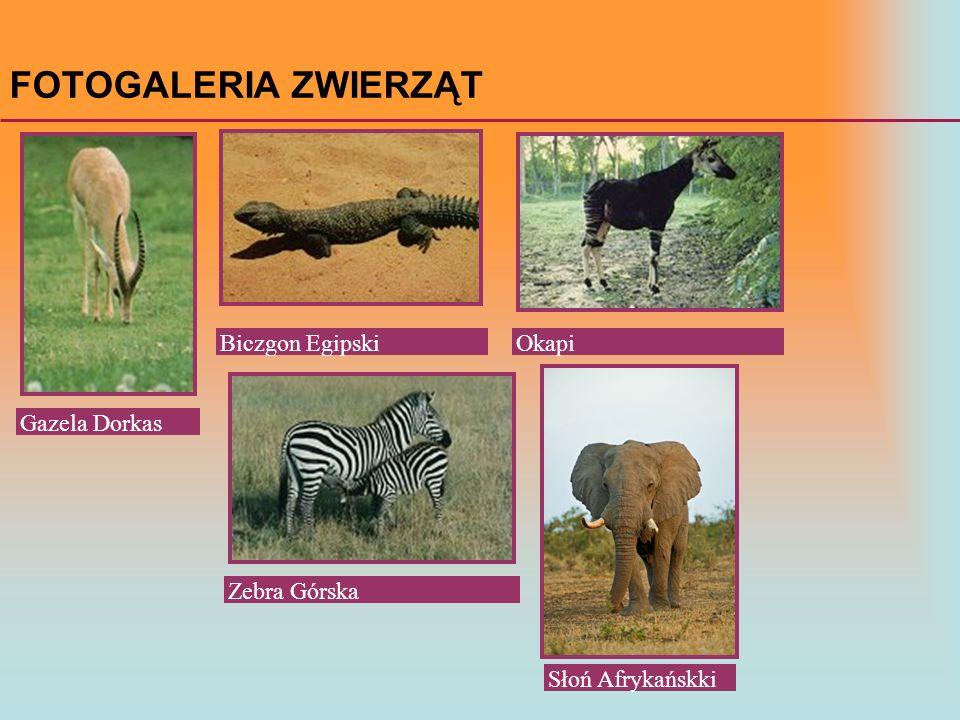 FOTOGALERIA ZWIERZĄT Biczgon Egipski Okapi Gazela Dorkas Zebra Górska