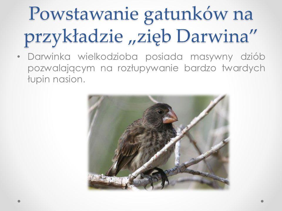 """Powstawanie gatunków na przykładzie """"zięb Darwina"""