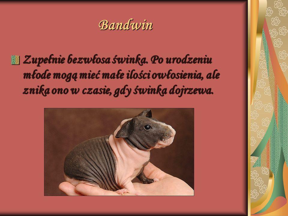 Bandwin Zupełnie bezwłosa świnka.