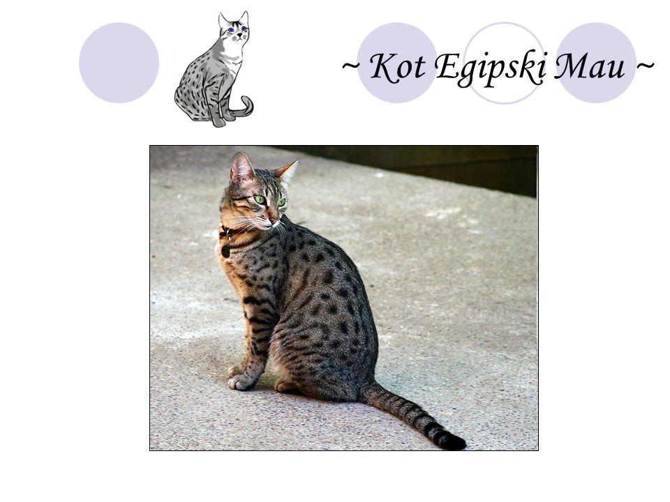 ~ Kot Egipski Mau ~