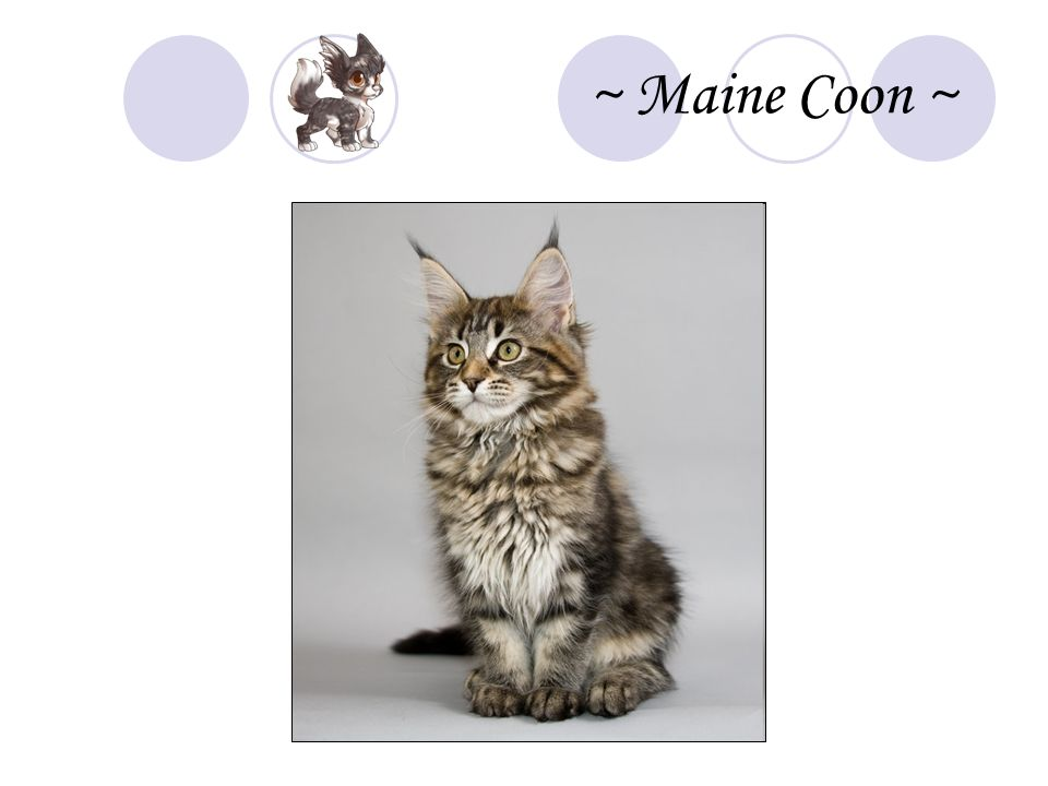 ~ Maine Coon ~