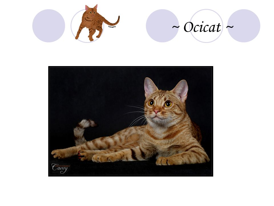 ~ Ocicat ~