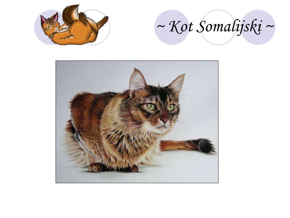 ~ Kot Somalijski ~