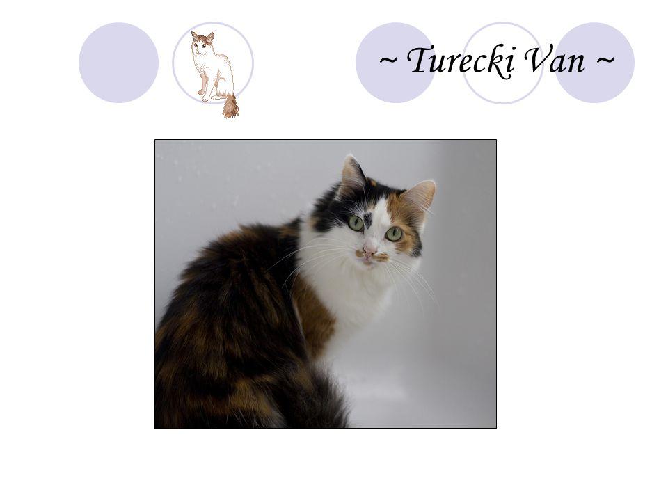 ~ Turecki Van ~