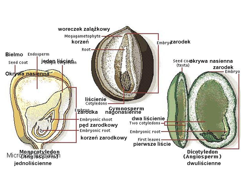 woreczek zalążkowy korzeń zarodek. Bielmo.