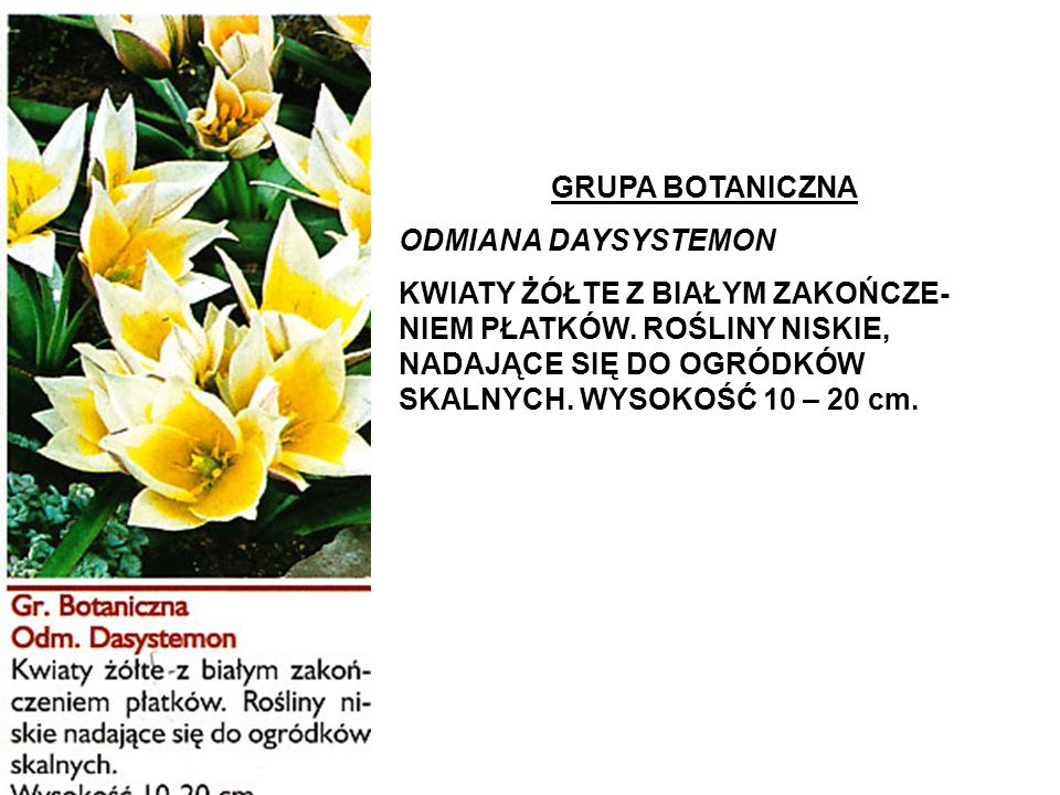 GRUPA BOTANICZNA ODMIANA DAYSYSTEMON.